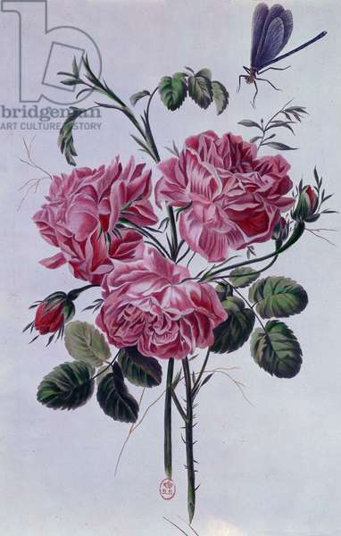 Bouquet of peonies Lithography by Pierre Joseph (1731-1807) 18th century Paris, B.N.