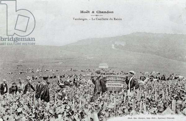 Champagne making: picking Moet and Chandon grapes at harvest time - Photography of the beginning of the 20th century - Private collection
