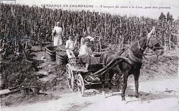 Manufacture of Champagne: transport of grapes to the vat, harvest in Champagne - beginning of the 20th century - Photography