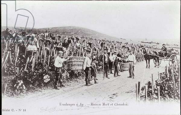 Champagne making: the harvest of Champagne Moet et Chandon - The beginning of the 20th century - Photography