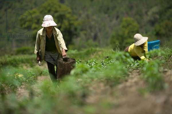 Farming in, Bhutan (photo)