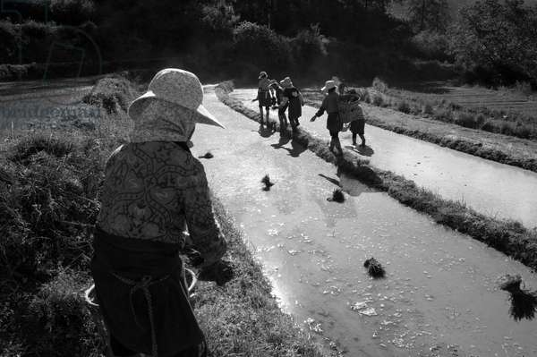 Working the rice paddy yunnan, China (b/w photo)