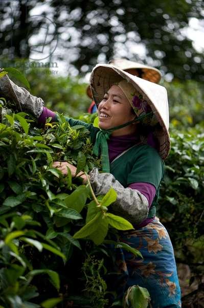 Tea plucker, China (photo)