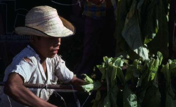 Child preparing tobacco leaves for toasting, Copan Valley, Honduras (photo)