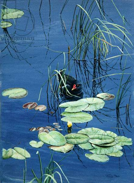 Moorhen, 1990 (acrylic on board)