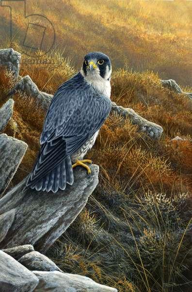 Morning light - peregrine falcon, acrylic on board, 2016