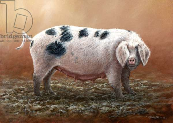 Gloucester old spot pig, 2013, acrylic on board