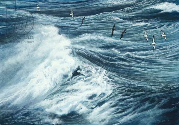 Manx shearwaters, 2013, acrylic on board