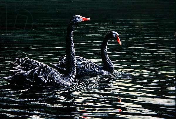 Black Swans, 2003 (acrylic on board)