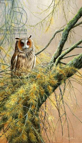 Long eared owl - among the larch, 2014, acrylic on board