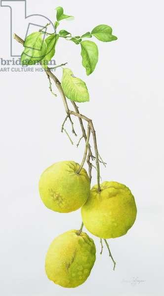 Sour Oranges (Citrus Aurantium), 1993 (w/c)