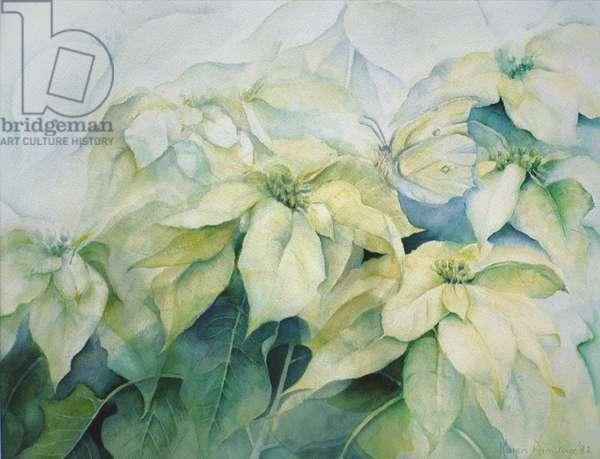 White Poinsettia (horizontal)
