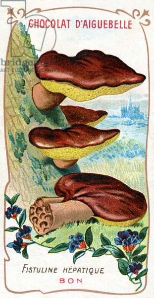 'Fistulina Hepatica' ('Beef Tongue') Mushroom, 1905 (colour litho)