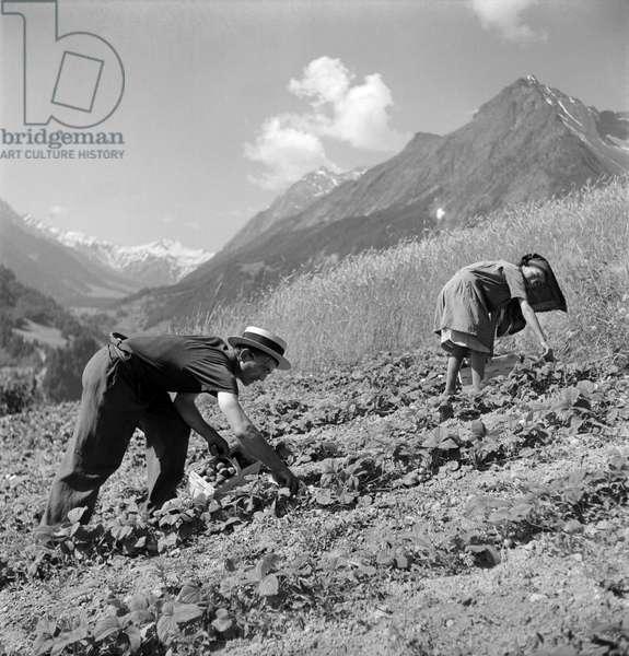 Switzerland Strawberries Harvest (b/w photo)