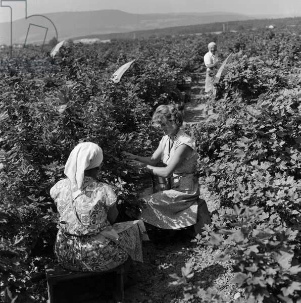 Switzerland Currants Harvest (b/w photo)