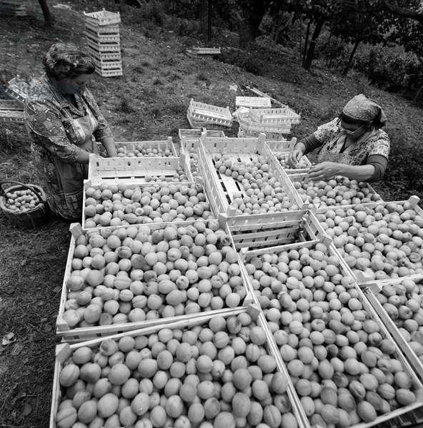 Switzerland Wallis Apricot Harvest (b/w photo)