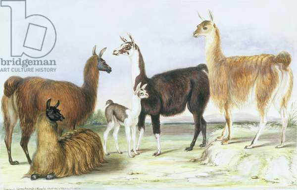 A Group of Llamas, from 'The Knowsley Menagerie', July 9th 1844 (w/c on paper)