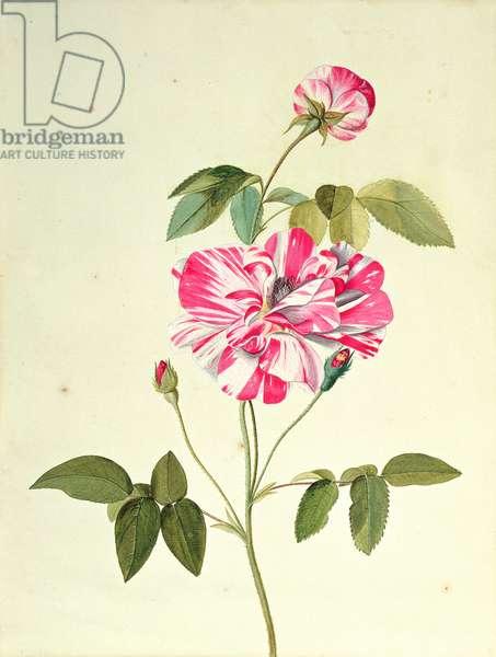 Rosa Mundi (gouache on paper)