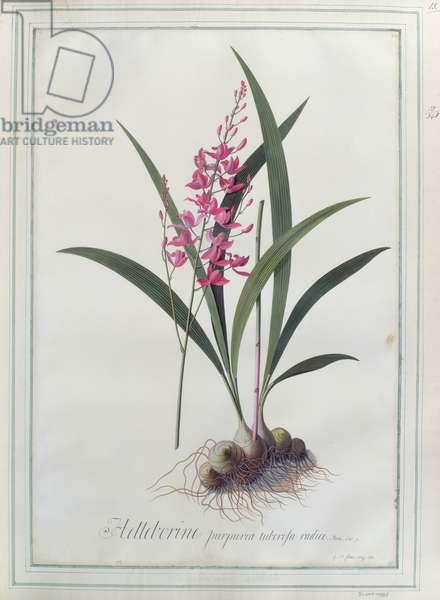 Helleborine, purpurea tuberosa radice. Plum. Cat. 9. 1743 (w/c on paper)