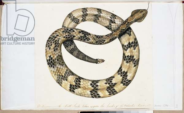 The Rattle Snake (w/c on paper)