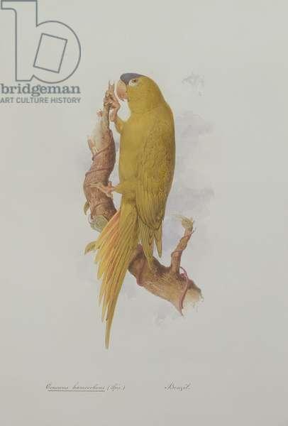 Conurus haemorrhous (Spix.), 1835-36 (w/c on paper)