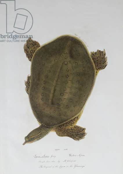 African Softshell Turtle (w/c on paper) (see also 210753)