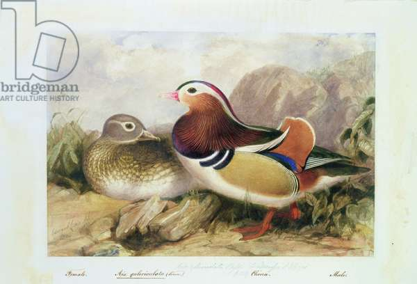 Aix galericulata (Linn.)., China, May 1836 (w/c on paper)