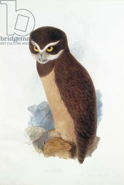 Spectacled owl, August 1836 (w/c on paper)