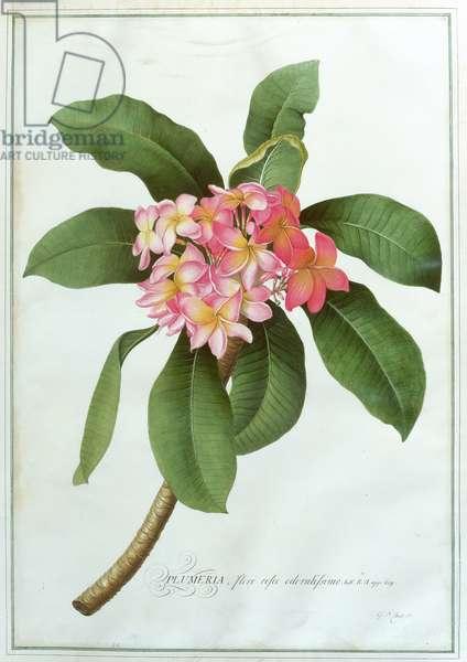 Plumeria (w/c on paper)