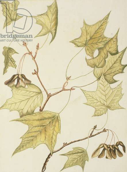 Sugar Maple with ripe seeds, 1755 (w/c on paper)