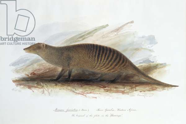 Mungos fasciatus. (Desm.), November 1836 (w/c on paper)