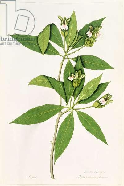 Diandria Monogynia, Justicia Adhatoda of Linnaeus (coloured engraving)