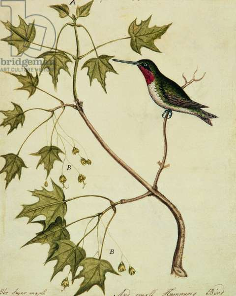 The Sugar Maple with a Humming Bird (w/c on paper)