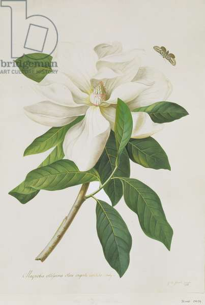 Magnolia altissima (coloured engraving)