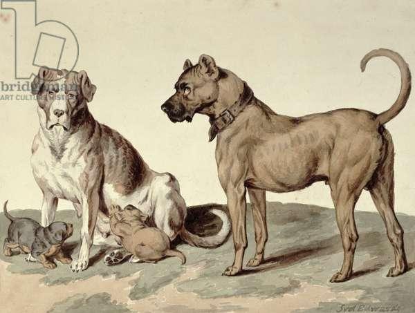 The Mastiff, (w/c on paper)