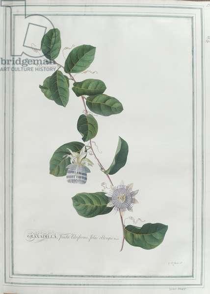Granadilla; fructu Citriformi, foliis oblongis. Tourn. (w/c on paper)