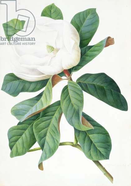 Magnolia (coloured engraving)