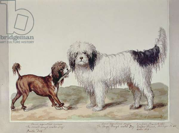 The Small Rough Water Dog or Poodle and the Large Rough Water Dog, (w/c on paper)
