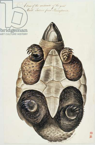 The underside of the great mud tortoise of Pennsylvania (w/c on paper)