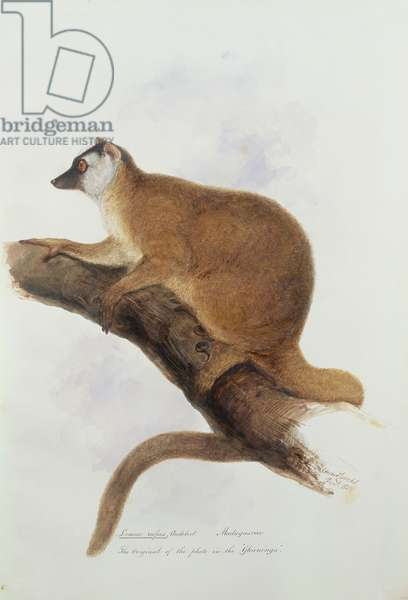 Lemur rufus, Audebert., December 1836 (w/c on paper)