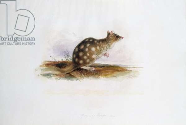 Dasyurus maugei mas, November 1834 (w/c on paper)