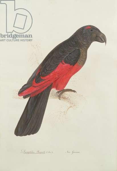 Dasyptilus pecqueli (Less.)., New Guinea, 1831 (w/c on paper)