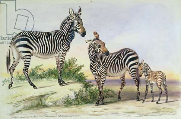 from 'The Knowsley Menagerie', June 13th 1844 (w/c on paper)