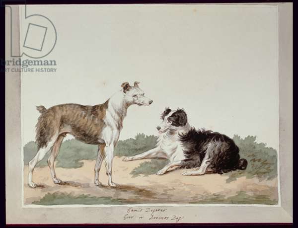 Cur or Drovers Dog, (w/c on paper)