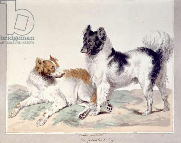 Newfoundland Dog, (w/c on paper)