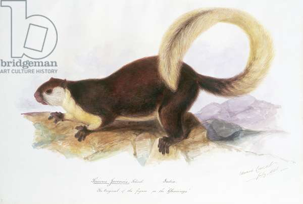 Sciurus javensis, Screb., July 1836 (w/c on paper)