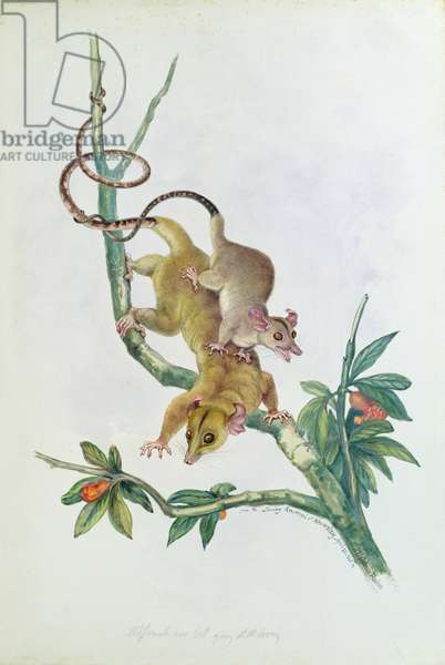 from 'The Knowlsey Menagerie', April 22nd 1845 (w/c on paper)