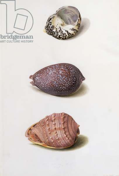 Shell Paintings at Knowsley, from 'Original Drawings, Botany and Shells' (w/c on paper)