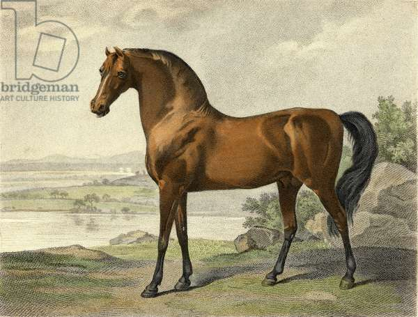Warren Hastings' Arabian (coloured engraving)