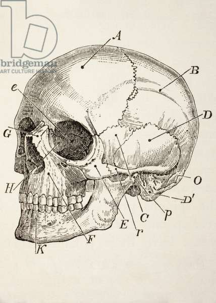 The Human Skull, c.1890 (engraving)